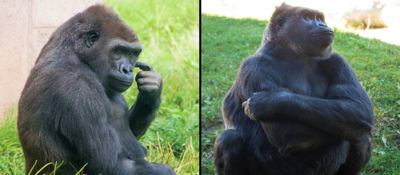 Philadelphia, PA -- Philadelphia Zoo is pleased to announce that Kira, a 17-year-old western lowland gorilla, is pregnant and the baby is expected early summer. Kira's pregnancy was confirmed through an over-the-counter home pregnancy test, the same test used by humans. This is the first pregnancy for Kira and the third offspring for 32-year -old male Motuba, whose daughter Amani was born at the Zoo just this past August.