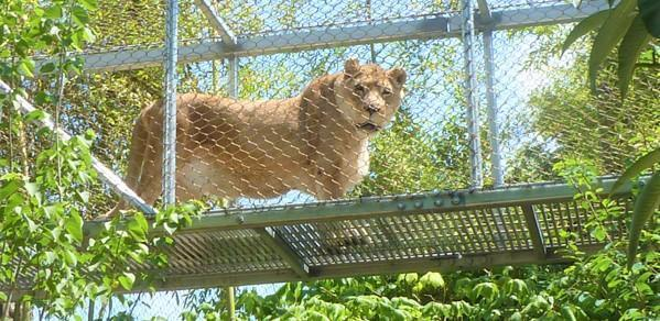 Zenda, Philadelphia Zoo's 25-year-old Female African Lion, Dies