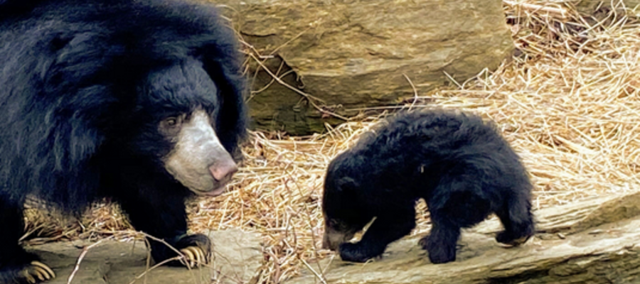 The Philadelphia Zoo's New Baby Sloth Bear Cub